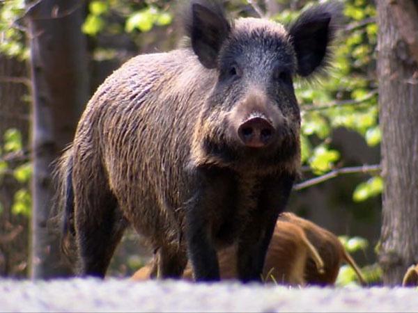Lợn rừng vô tình giúp cảnh sát tìm thấy kho ma túy 21.000 USD giấu dưới đất - Ảnh 1.