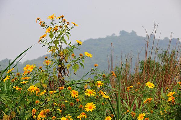 Đẹp đến không tưởng tượng nổi con đường hoa dã quỳ dưới chân núi Ba Vì - Ảnh 2.