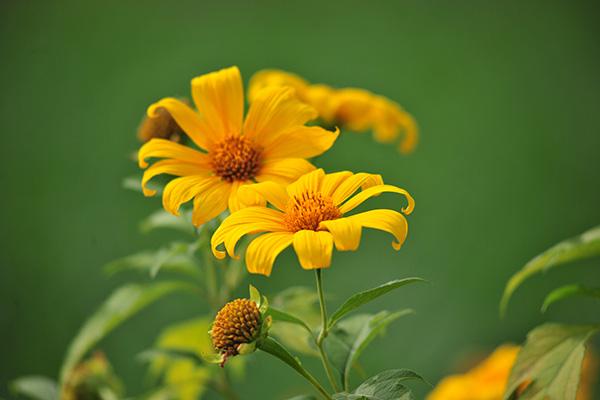 Đẹp đến không tưởng tượng nổi con đường hoa dã quỳ dưới chân núi Ba Vì - Ảnh 12.