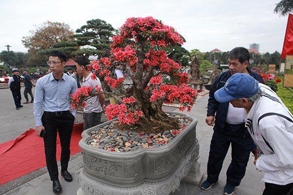 Tại triển lãm cây cảnh tỉnh Bắc Ninh, cây đỗ quyên cổ thụ, hoa nở đỏ rực thu hút sự chú ý của du khách, giới chơi cây.