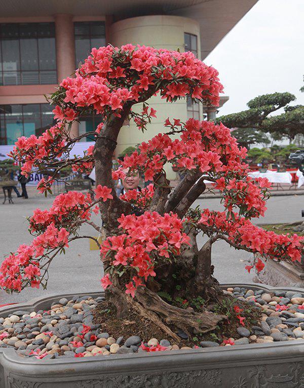 Đặc điểm hoa như một loại vị thuốc bắc, hoa tươi, bền hơn của Trung Quốc.
