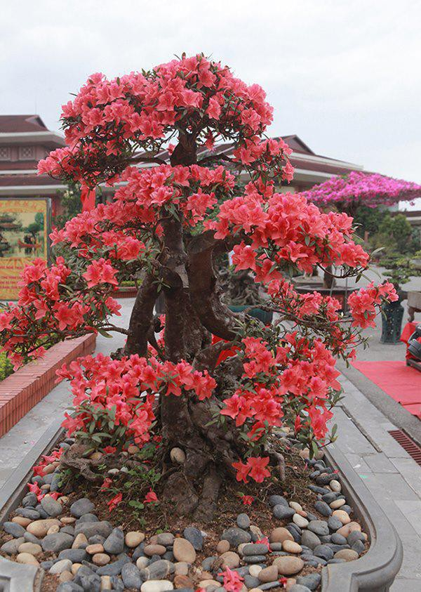 Hoa thường nở vào đúng dịp Tết Nguyên Đán, do đó, đây cũng là loại hoa được nhiều gia chủ trưng vào dịp Tết.