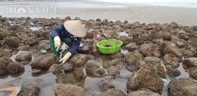 Một người dân đang khai thác vẹm tại một bãi đá ven biển tại xã Hải Đông, huyện Hải Hậu, tỉnh Nam Định.