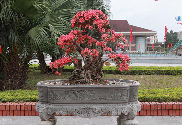 Cây đỗ quyên này khoảng 400 tuổi, đường kính gốc 46cm, cao 120cm, tán rộng 140cm, dáng cây uốn lượn,  hoa nở đỏ rực từ gốc lên ngọn được chào bán với giá 860 triệu đồng.