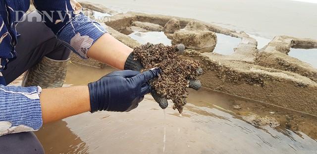 Vẹm thuộc loài nhuyễn thể, chúng sống ở trong những đám rêu bám vào các tảng đá và được chủ yếu làm thức ăn cho tôm hùm.