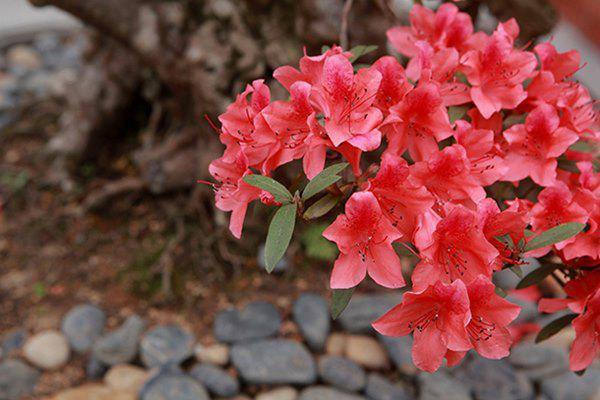 Sau khi mua xong, anh Thành cắt bớt tán và phải chăm sóc từ 6- 12 năm thì cây mới ra hoa đẹp như thế này.