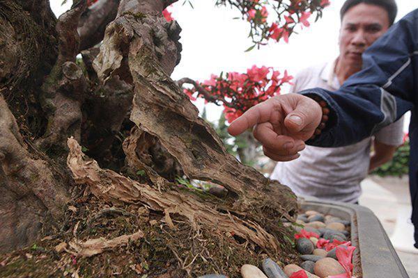 Mua xong mình để bên đó cho hợp khí hậu, thuần hóa để cho cây sống tốt với mọi loại môi trường, sau đó chuyển cây về Việt Nam, anh Thành cho biết.
