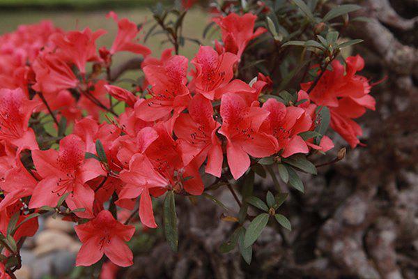 Hoa nở đến đâu là lá rụng đến đó và khi lá đã rụng hết thì hoa cũng sẽ đến thời điểm tàn. Thời gian hoa tươi là 60 ngày.