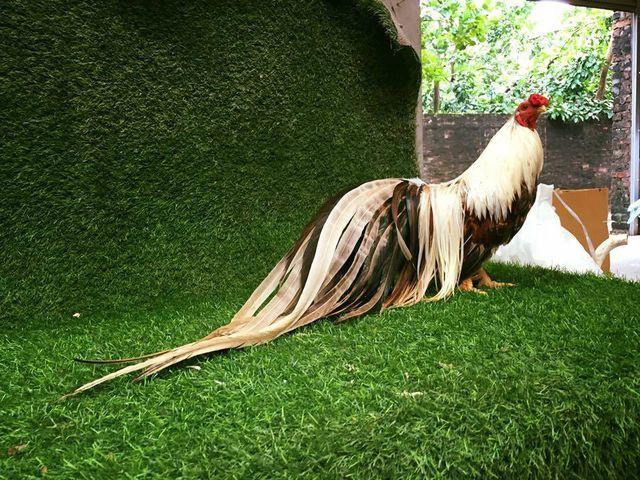 Một con gà Tân Châu trưởng thành, có bộ lông đẹp có thể được trả giá từ vài triệu đến vài chục triệu/ con.