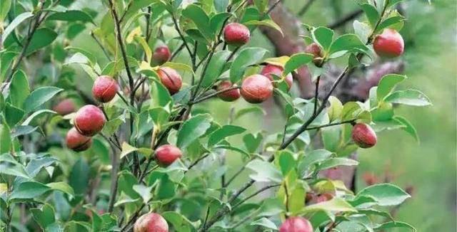 Dầu trà cần 10 tháng để đơm hoa kết trái
