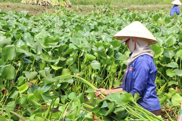 Ở Việt Nam, lượng bèo tây được khai thác là không đáng kể so với tốc độ sinh sản và phát triển mạnh như hiện nay. Thế nên, một số địa phương đã phải bỏ công sức, tiền của ra vớt bèo tây bỏ đi.
