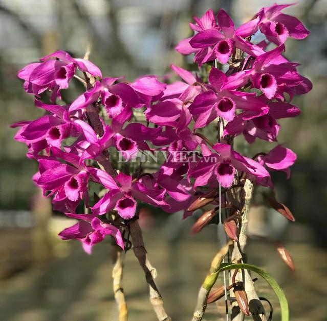 Trầm rồng đỏ là loại lan ra hoa vào mùa xuân, nếu chăm sóc đúng cách sẽ cho hoa to, màu đậm và rất thơm.