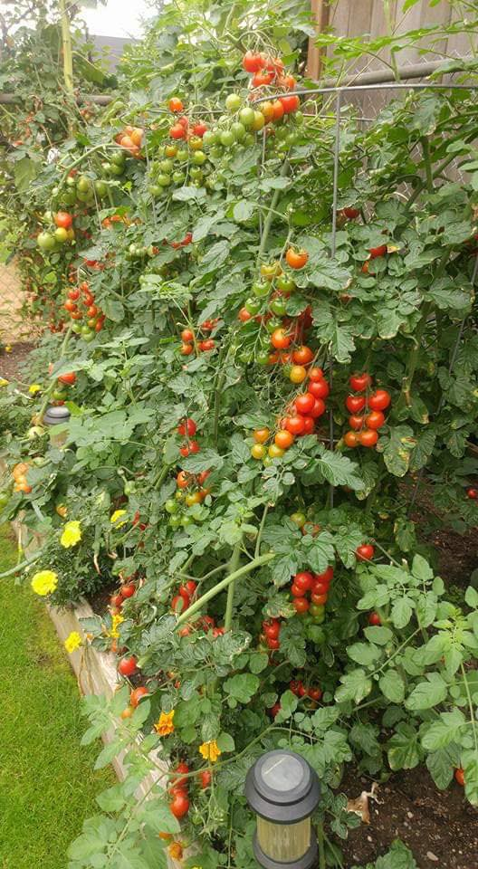 Khu vườn đủ rộng để người mẹ trẻ trồng nhiều rau quả sạch.