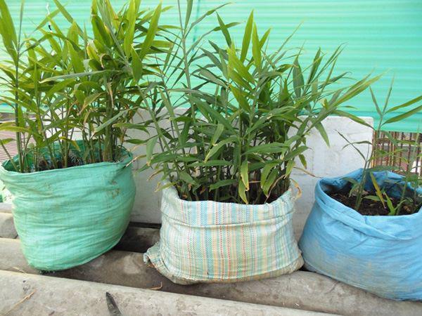 Gừng được trồng trong bao xi măng.