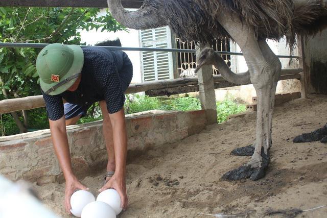 Đánh liều nuôi chim khổng lồ, lão nông không ngờ lãi 500 triệu đồng - Ảnh 4.
