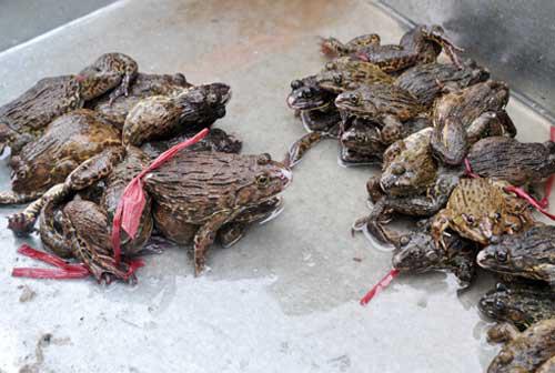 Đi chợ tuyệt đối đừng mua ếch làm sẵn, những con có trọng lượng cỡ này thì đừng ham rẻ mà mua - Ảnh 3.