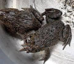 Đi chợ tuyệt đối đừng mua ếch làm sẵn, những con có trọng lượng cỡ này thì đừng ham rẻ mà mua - Ảnh 2.