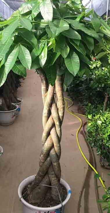 Loại cây thường thấy này lại là cây hút tiền, may mắn, giàu có, thịnh vượng trong phong thủy, còn đuổi được muỗi - Ảnh 5.