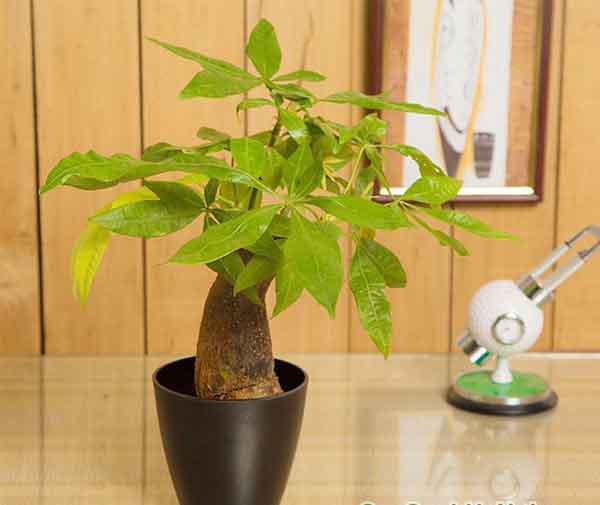 Loại cây thường thấy này lại là cây hút tiền, may mắn, giàu có, thịnh vượng trong phong thủy, còn đuổi được muỗi - Ảnh 2.