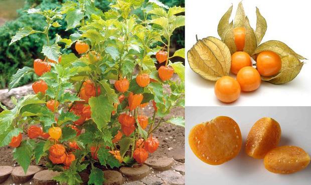 Đây là loại quả mà người Việt chỉ coi là cỏ dại, sang Nhật được tôn như thảo dược quý chữa đủ thứ bệnh - Ảnh 1.