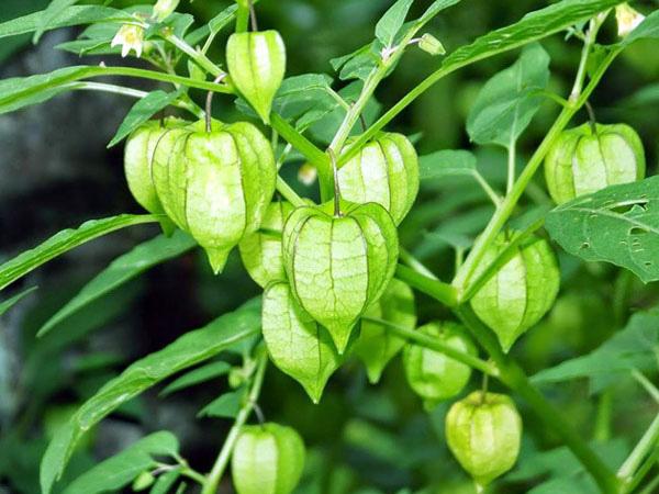 Đây là loại quả mà người Việt chỉ coi là cỏ dại, sang Nhật được tôn như thảo dược quý chữa đủ thứ bệnh - Ảnh 5.