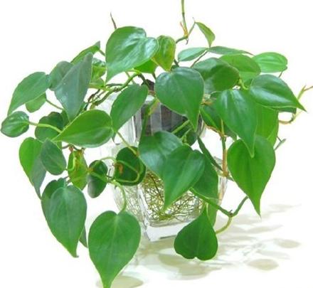 Có một loại cây cảnh hợp tất cả loại mệnh, mang lại tài lộc, may mắn, sức khỏe theo phong thủy, dễ trồng, giá rẻ giật mình - Ảnh 1.