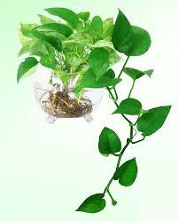 Có một loại cây cảnh hợp tất cả loại mệnh, mang lại tài lộc, may mắn, sức khỏe theo phong thủy, dễ trồng, giá rẻ giật mình - Ảnh 6.