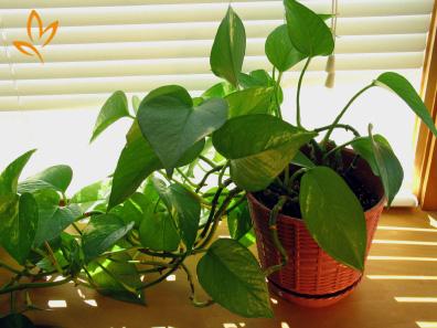 Có một loại cây cảnh hợp tất cả loại mệnh, mang lại tài lộc, may mắn, sức khỏe theo phong thủy, dễ trồng, giá rẻ giật mình - Ảnh 7.
