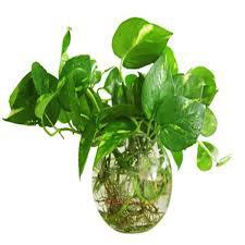 Có một loại cây cảnh hợp tất cả loại mệnh, mang lại tài lộc, may mắn, sức khỏe theo phong thủy, dễ trồng, giá rẻ giật mình - Ảnh 5.