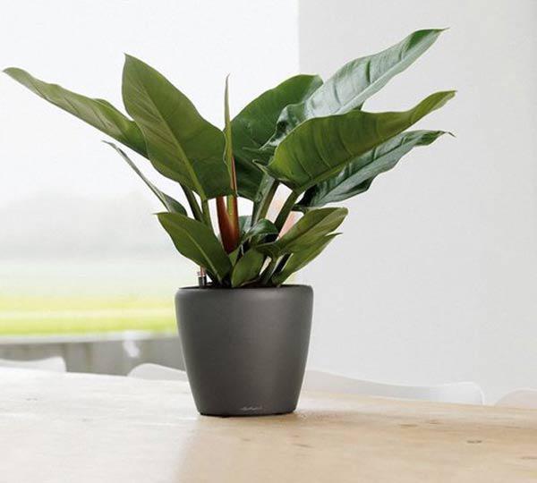 8 loại cây cảnh để bàn làm việc cực dễ chăm sóc mà lại đẹp lung linh - Ảnh 6.
