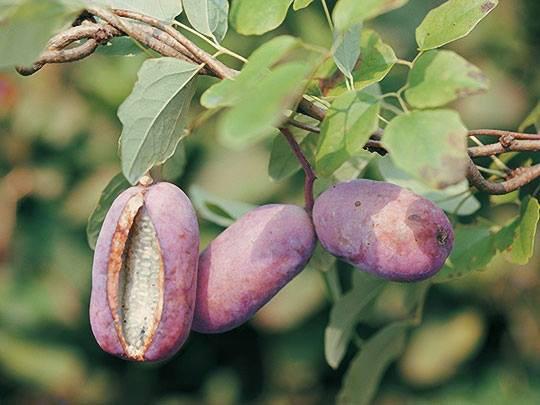 شما می خواهید در هنگام Tet استقبال شما متفاوت باشد: این انگور بنفش را بخرید - تصویر 4.