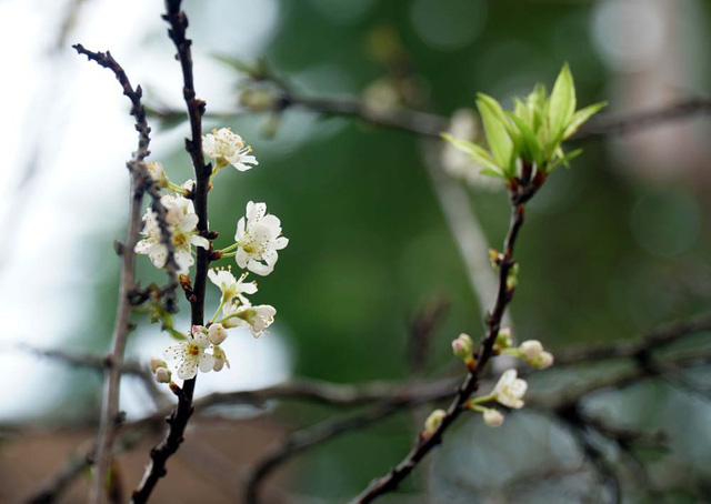 Cấm chặt đào rừng, hoa mận rừng siêu đắt vẫn được dân Hà thành vung tiền để chơi Tết - Ảnh 2.