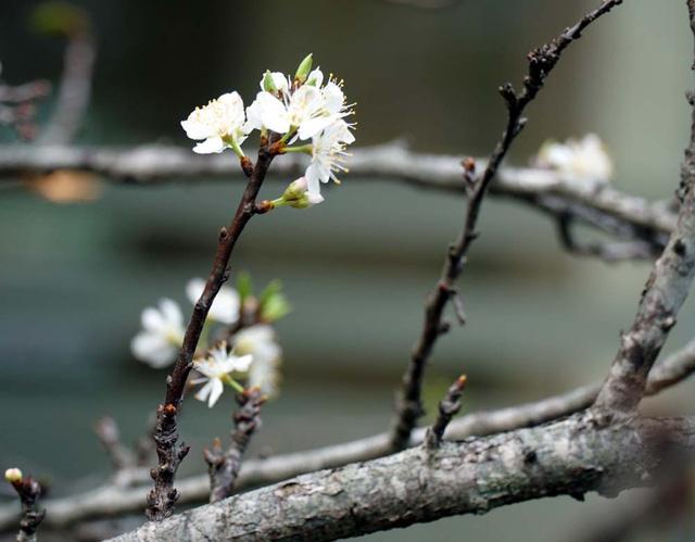 Cấm chặt đào rừng, hoa mận rừng siêu đắt vẫn được dân Hà thành vung tiền để chơi Tết - Ảnh 3.