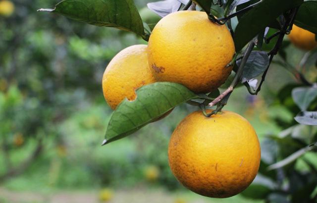 Mẹo bảo quản trái cây mâm ngũ quả tươi lâu gấp đôi mà không cần đến tủ lạnh - Ảnh 5.