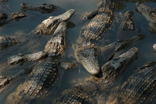با کاهش قیمت ها ، هزاران تمساح بین پایتخت تمساح گرسنه می مانند - عکس 2.