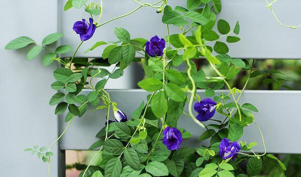 این گل نه تنها درخشان ، بلکه اثرات معجزه آسایی بسیاری بر سلامتی دارد - عکس 2.