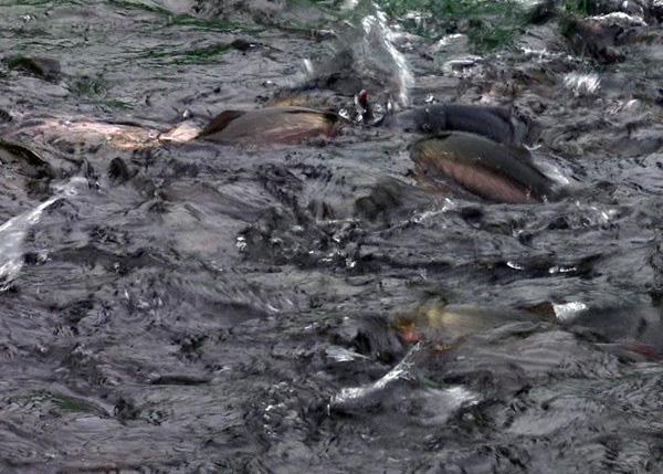 ماهی قزل آلا Sa Pa دوباره فوق العاده ارزان است ، سالانه 2 قطره شوک وجود دارد ، کشاورزان ضرر زیادی دارند - عکس 3.