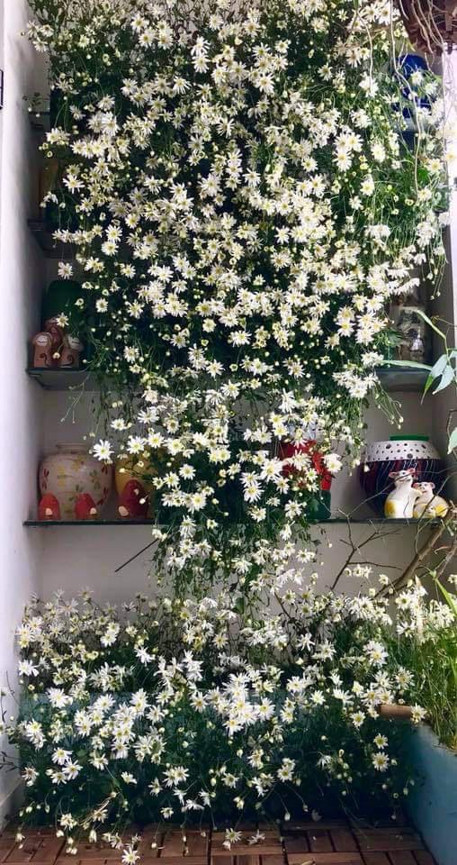 باغ گل غول پیکر در تراس خانمی از هانوی - تصویر 12.