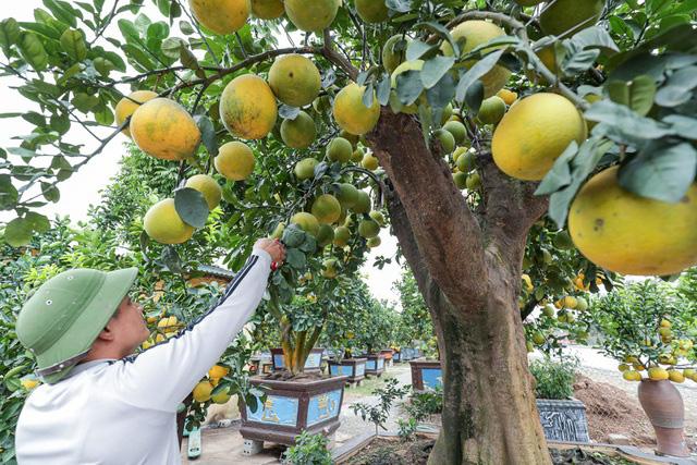 تحسین پوملو فوق العاده منحصر به فرد به سبک روستایی به ارزش 200 میلیون VND در ین هونگ - عکس 4.
