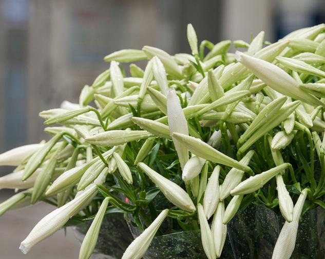 Bí mật về hoa loa kèn tháng Tư rất có thể bạn chưa biết - Ảnh 2.
