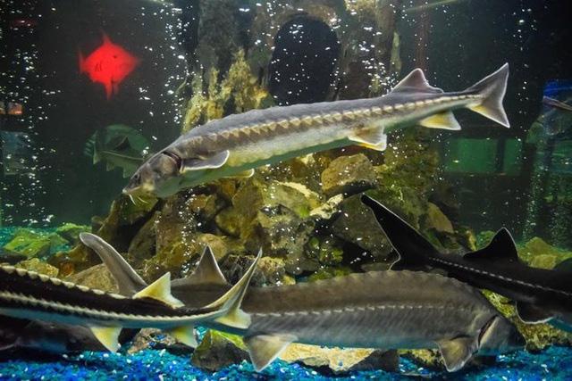 Bí mật nơi nông dân nuôi cá làm ra đặc sản thượng hạng hàng trăm triệu/kg - Ảnh 3.