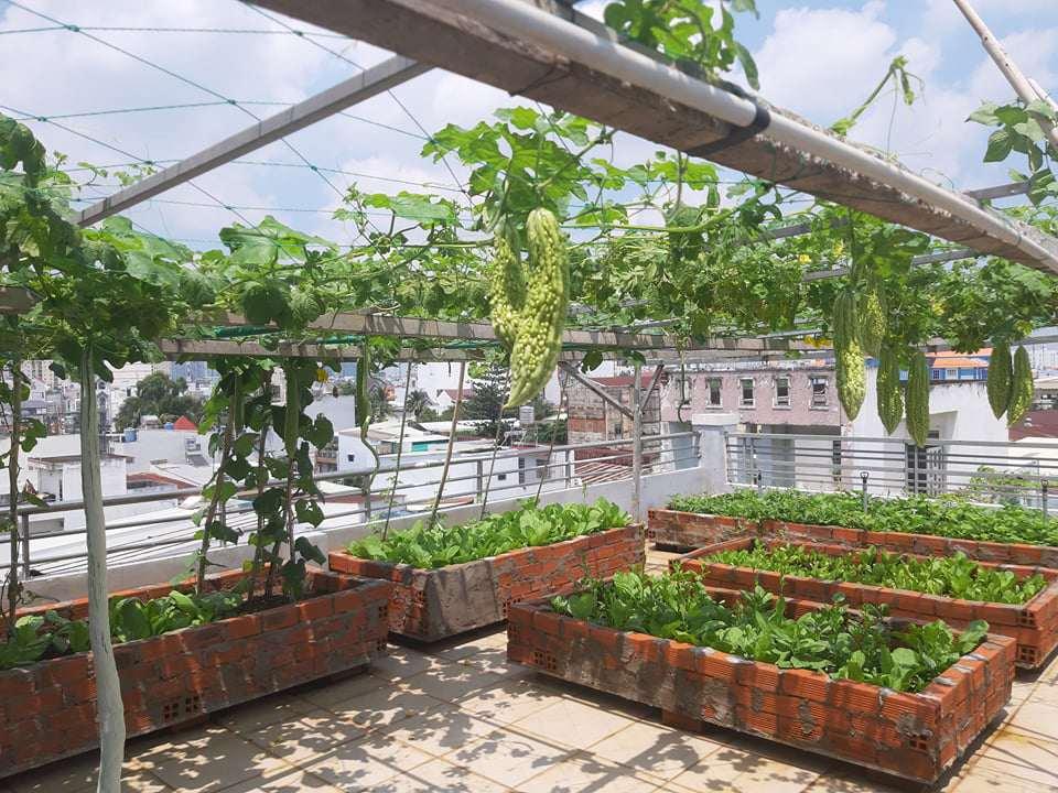 Mua hạt giống 10 nghìn đồng, bố Sài Gòn được vườn xanh mướt, mướp dài cả mét - Ảnh 1.