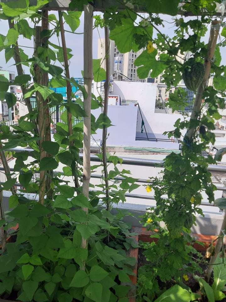 Mua hạt giống 10 nghìn đồng, bố Sài Gòn được vườn xanh mướt, mướp dài cả mét - Ảnh 9.
