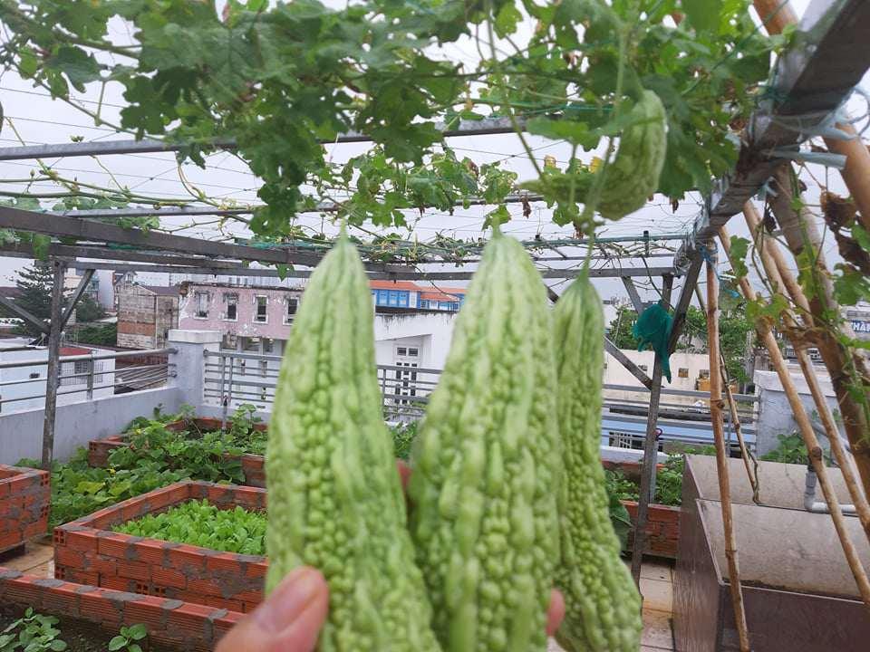 Mua hạt giống 10 nghìn đồng, bố Sài Gòn được vườn xanh mướt, mướp dài cả mét - Ảnh 8.