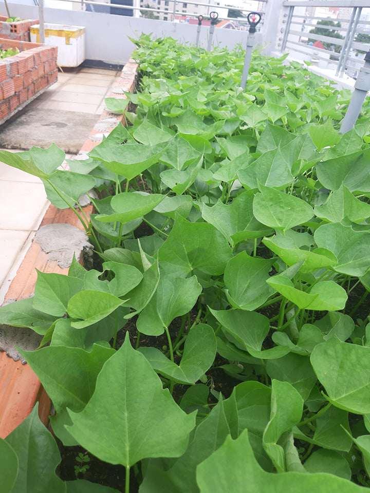 Mua hạt giống 10 nghìn đồng, bố Sài Gòn được vườn xanh mướt, mướp dài cả mét - Ảnh 5.