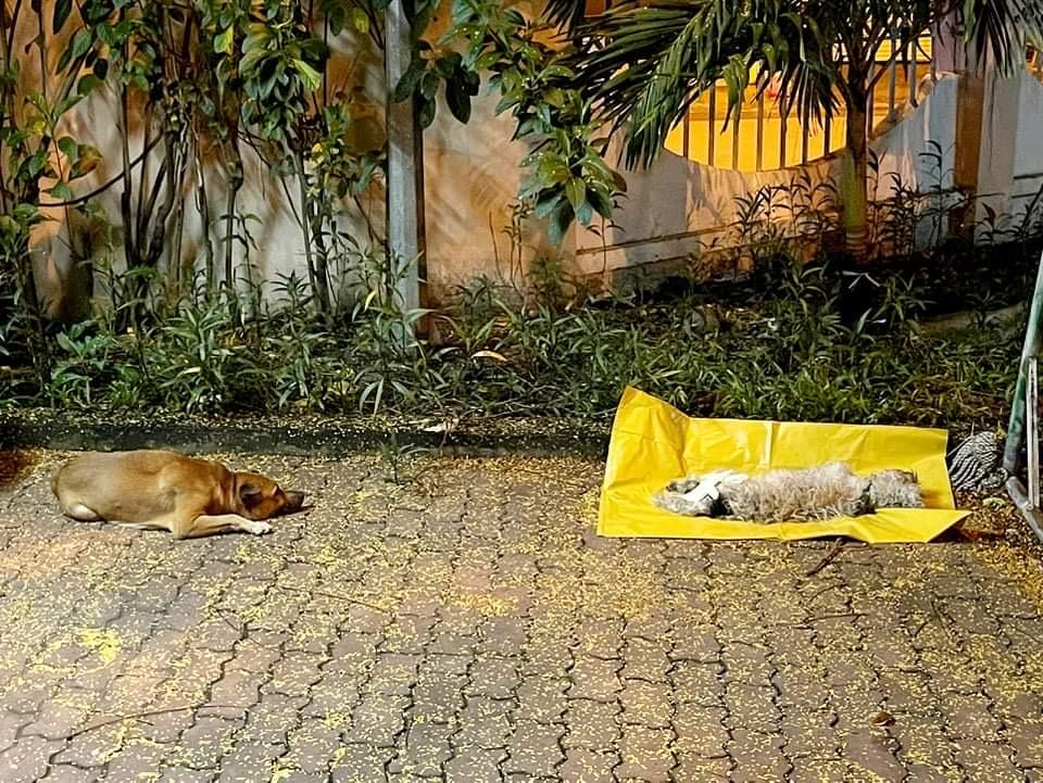 Chủ mất vì Covid-19, chú chó được tình nguyện viên nuôi dưỡng rồi cũng qua đời: 'Nó không đợi được ngày để tang chủ' - Ảnh 3.