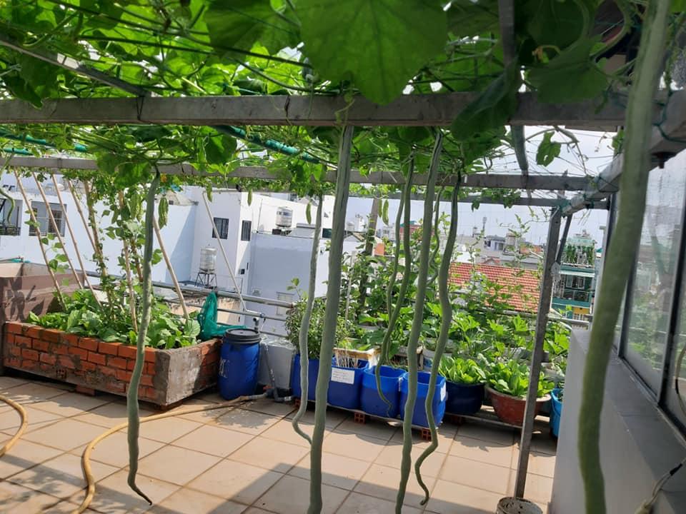 Mua hạt giống 10 nghìn đồng, bố Sài Gòn được vườn xanh mướt, mướp dài cả mét - Ảnh 6.