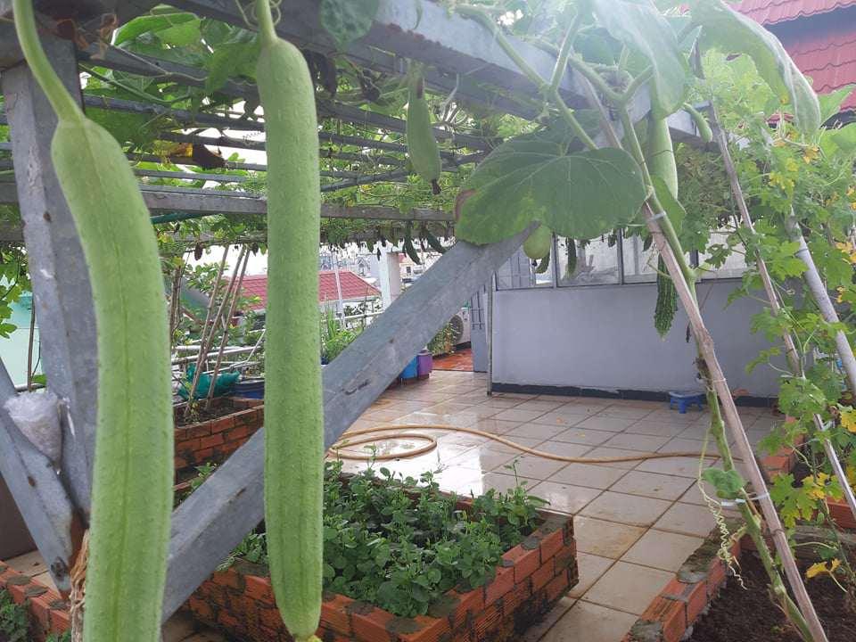 Mua hạt giống 10 nghìn đồng, bố Sài Gòn được vườn xanh mướt, mướp dài cả mét - Ảnh 2.