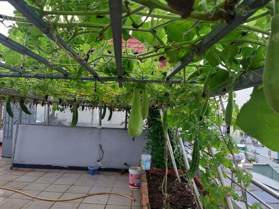 Mua hạt giống 10 nghìn đồng, bố Sài Gòn được vườn xanh mướt, mướp dài cả mét - Ảnh 3.