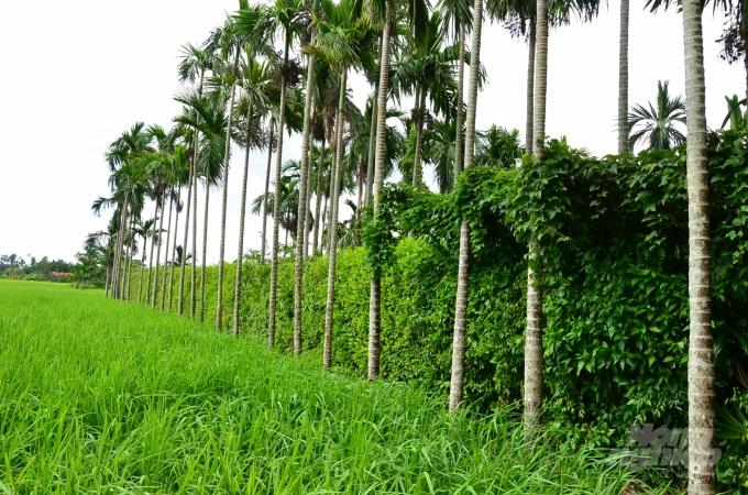 Loại cây ở Việt Nam ăn một nắm muối, trả một phân vàng - Ảnh 10.